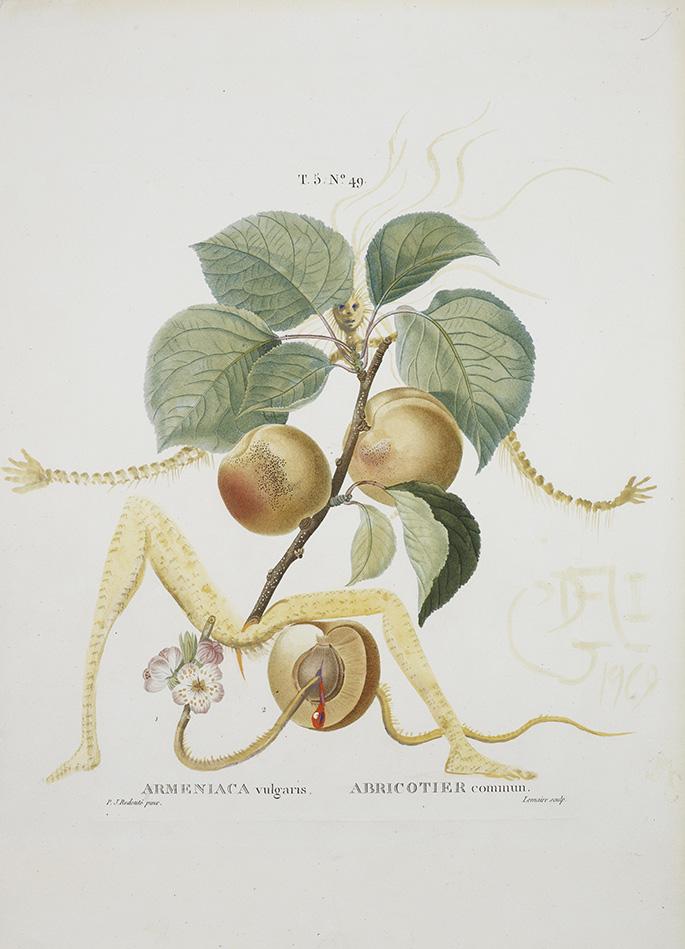 Abricot chevalier (Hiệp sỹ Mơ)